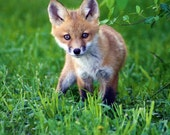 Fox Kit Fine Art Photo Print