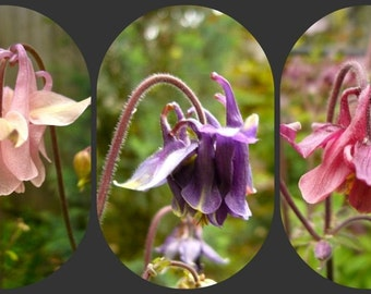 BULK SEEDS: Columbine Mix (Aquilegia vulgaris)