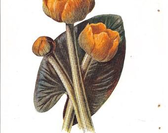 Antique English Botanical Print of Yellow Waterlily Blooms