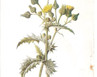 Antique English Botanical Print of Yellow Sow Thistle Blooms