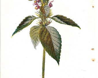Antique English Botanical Print of Hemp-Nettle Bloom