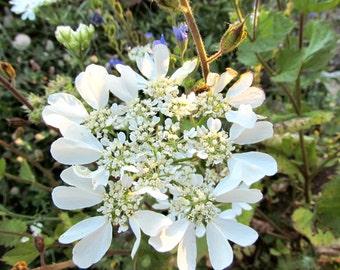 Minoan Lace Seeds (Orlaya grandiflora)