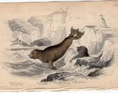 1833 ANTIQUE SEAL ENGRAVING original antique sealife print - cape otary seal