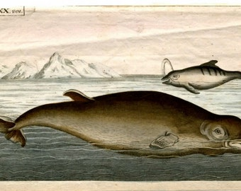1813 dolphin mini antique print original ocean sealife engraving