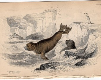 1833 ANTIQUE SEAL ENGRAVING original antique sealife print - cape otary seal