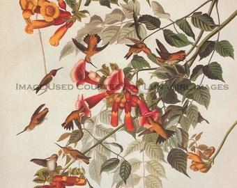 Wooden jigsaw puzzle. HUMMINGBIRD. John James Audubon. Botanical Print. Wood, handcut, handcrafted, collectible. Bella Puzzles.