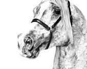 "Arabian Horse Equine Art Print, 12 x 18""  Chestnut Arab Stallion Pencil Drawing, Limited Edition Series"