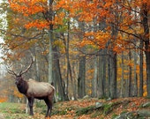 Cabin decor for men, Nature Photography, rustic, woodland, animal, antlers, deer, orange brown, 8x10