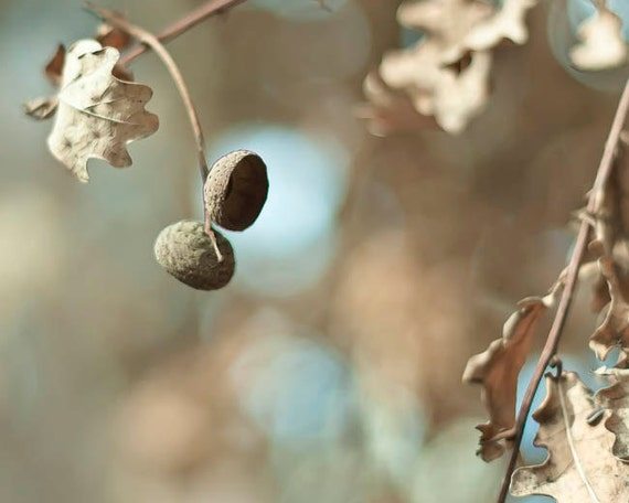 Acorn Print, Rustic Decor, Brown, Blue, New York Print, Neutral, Fall, Nature Photography, Oak Leaf