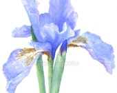 iris watercolor painting archival print