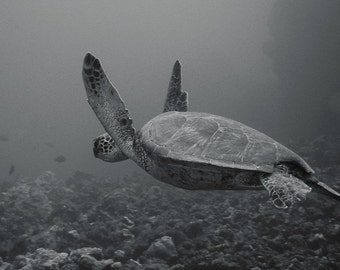 Sea Turtle Art ~ Black & White Underwater Photography print of Flying Turtle