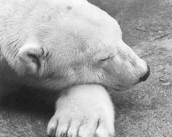 Polar bear Photograph quiet room zzz shhh nursery baby child serene calm black white zoo paw gift - Silently sleeping - fine art photograph