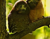 Baby northern saw-whet owls, greeting card