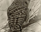 Barred Owl Print, sepia toned black and white, 8 x 10 approx., unframed