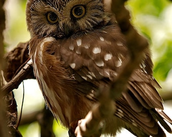 Northern Saw-whet owl, portrait, cute little face