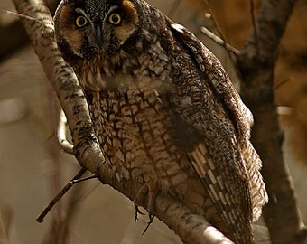 Long-eared Owl, looking right at you