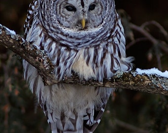 Barred Owl, late evening on a cold winter day, greeting card