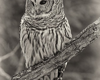 Barred Owl, eyes wide open, photographic greeting card