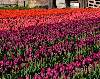 Fine Art Print of 'Assorted Colors'  Skagit Valley, Washington (IDWA0627)