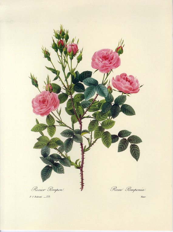 Sale Vintage Botanical Book Print By Redoute Of Rose Buy 3