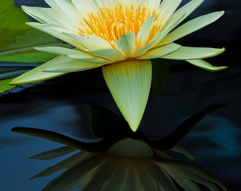 Flower Art, Yellow Water Lily, Fine Art Photography, Flower Photography