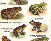 1900s antique FROG print, frogs, toad