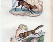 1870 Victorian WOLF print By BUFFON, wolf and fox, original french plate of natural history, zoologist