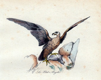 1870 rare Antique Victorian EAGLE print By BUFFON, The little eagle and the osprey