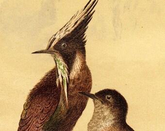 1890 Antique HUMMINGBIRD print, lithograph HELMET HUMMINGBIR