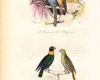 1870 Antique  PARROT print, bird engraving By BUFFON, Parrot and parakeet, budgie, animal art print