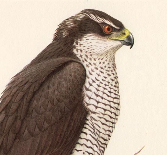 Vintage BIRD print, Northern Goshawk plate.