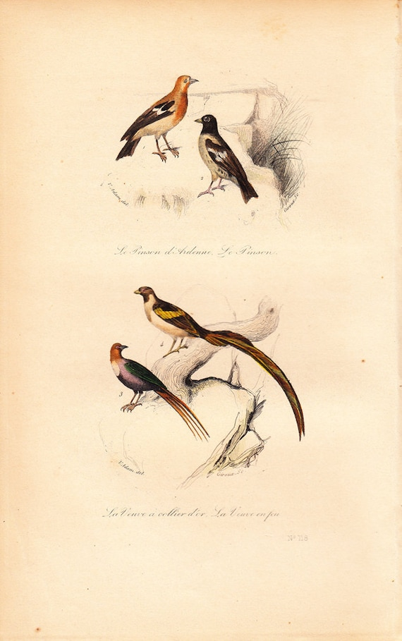 1870 Antique Victorian BIRD engraving By BUFFON, the chaffinch and the Long-tailed Widow bird,  vibrant colors,  animal art print