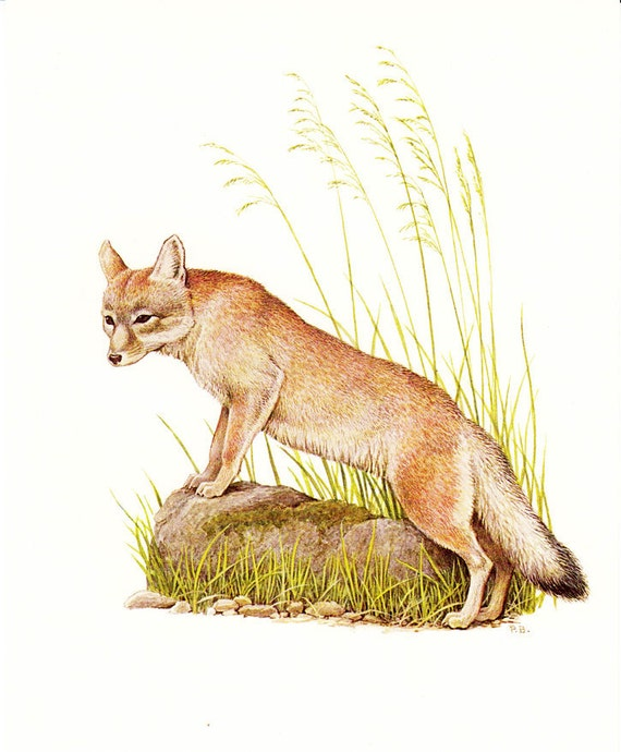Vintage ANIMAL prints, a FOX a sweet  Zoology picture