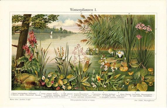 1894 Antique AQUATIC PLANTS print, water lilies  on the riverside,  fine antique exotic FLORA  lithograph