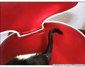 Cat Photography, Red, Humor, Funny, Black, White, Chair, Black Cat, Tuxedo Cat, Tail,  Color Photography, 8x10
