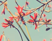 teal babys room decor, nature photography, flower photograph, cherry red coral tree petals, blue green spring branches print, Myan Soffia