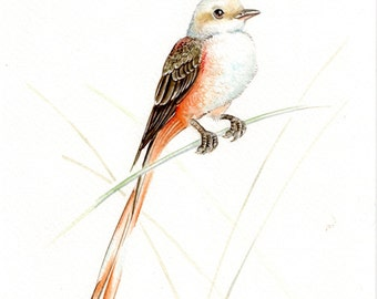 Original 7x9 Watercolour Scissor-tailed Flycatcher No.2 ......NOT A PRINT ..Original Painting,bird,animal,fine art,