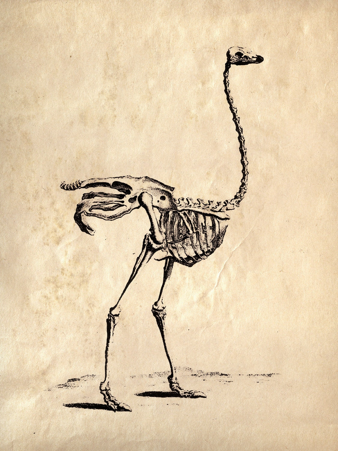 Ostrich wing skeleton - photo#16