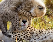11 X 14, BABY CHEETAH PLAYING With Mom Photo, Baby Animal Photography, Wildlife Photography, Wall Decor, Nursery Art, African Safari, Cute