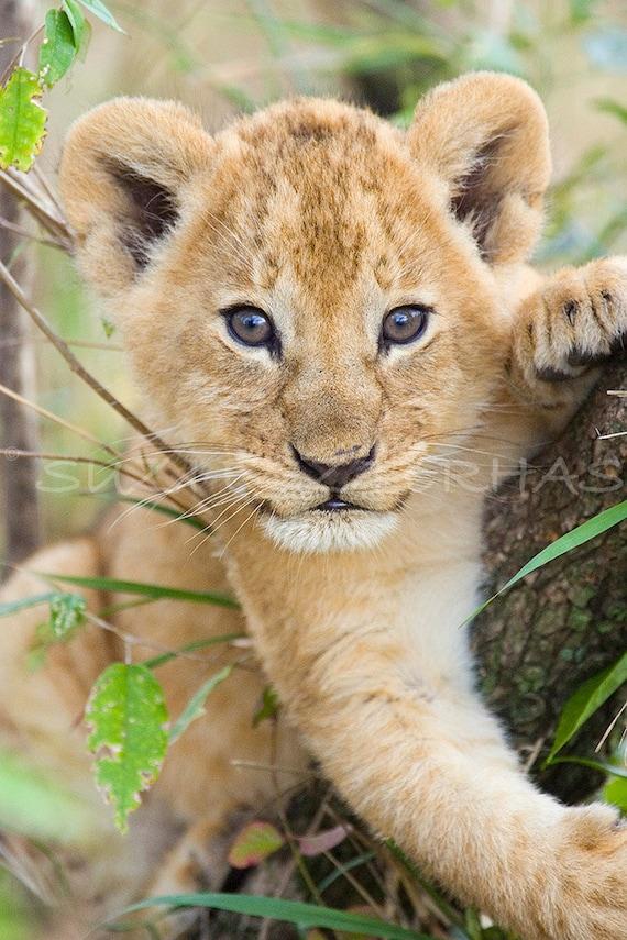 40% OFF SALE - Cute Baby Lion Photo, Baby Animal Photograph, Wildlife Photography, Nursery Art, African Safari, Zoo, Animal Photography, Cub