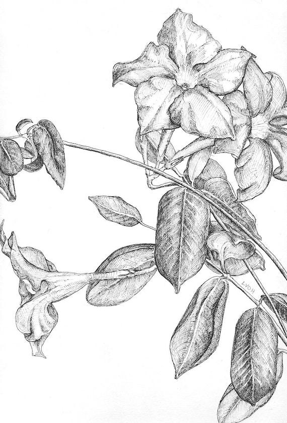 Jasmine botanical drawing flower black and white pen original