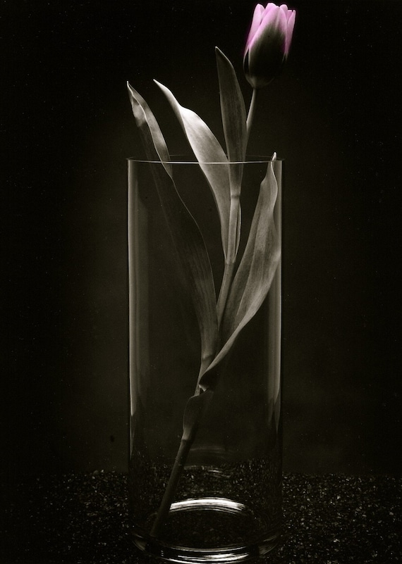 Photo of Pink Tulip in Clear Vase  5x7