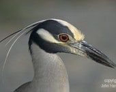 A Very Detailed Head Shot of  a Yellow Crowned Night Heron Bird Fine Art Photo