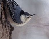 White Breasted Nuthatch in Winter A Bird Fine Art Photo