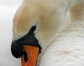 A Vertical Head Shot of a Mute Swan Bird Art Photo 5 x 7