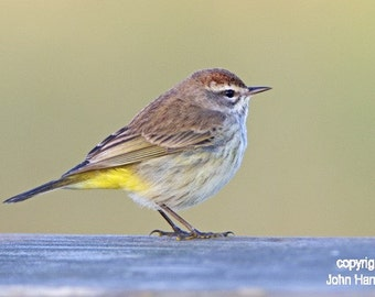 Palm Warbler in Morning Light  Bird Fine Art Photo
