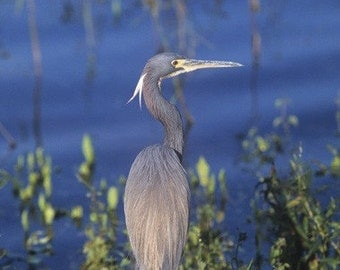 A Tri-Colored Heron poses  In a Monet type setting  Bird  Fine Art Photo