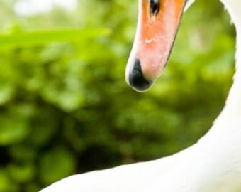 Swan contours 1 - Fine Art Photography - Wall Décor - Nature Photography - 7x5 Print
