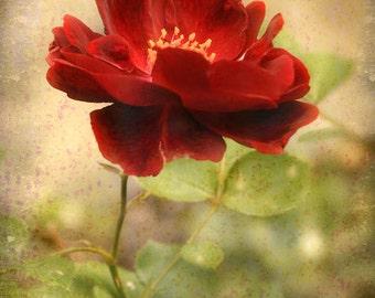 At The Edge Of The Petal - Original Photograph - Textured Deep Red Rose Olive Green Botanical Flower Garden Home Decor Wall Art