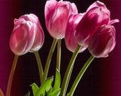 Fresh Cut Tulip Flowers with Pink Blossoms in Springtime No.0103 A Fine Art Nature Flower Photograph